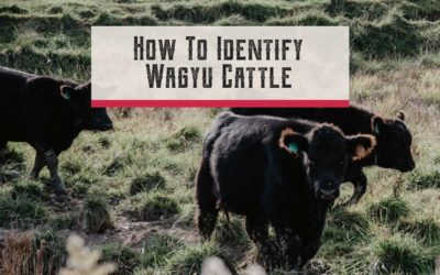 How To Identify Wagyu Cattle